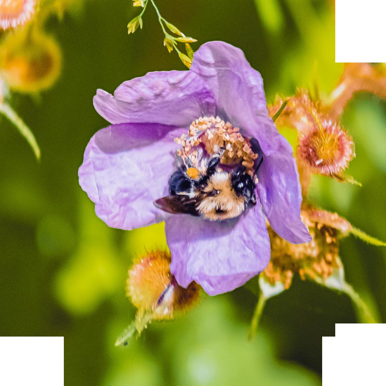 Pollen Feet. Bumble Bee Photograph.