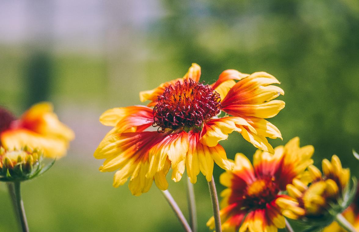 Summer's Haze. Flower Photograph
