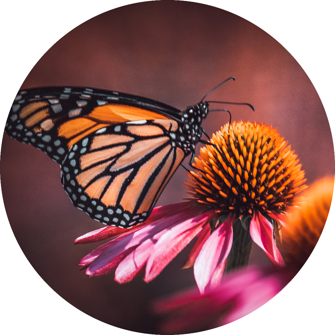 Resting Monarch.  By Stephen Geisel, luv-fi.com