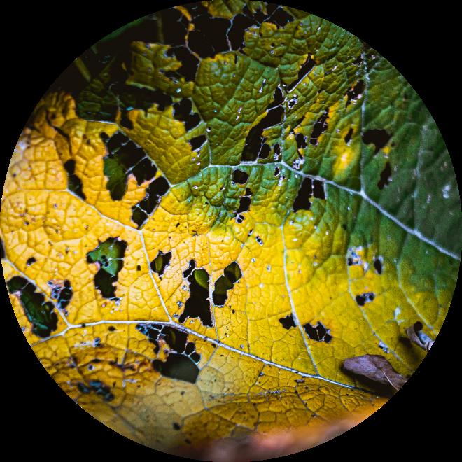 Green Leaf Consumption.  by Stephen Geisel