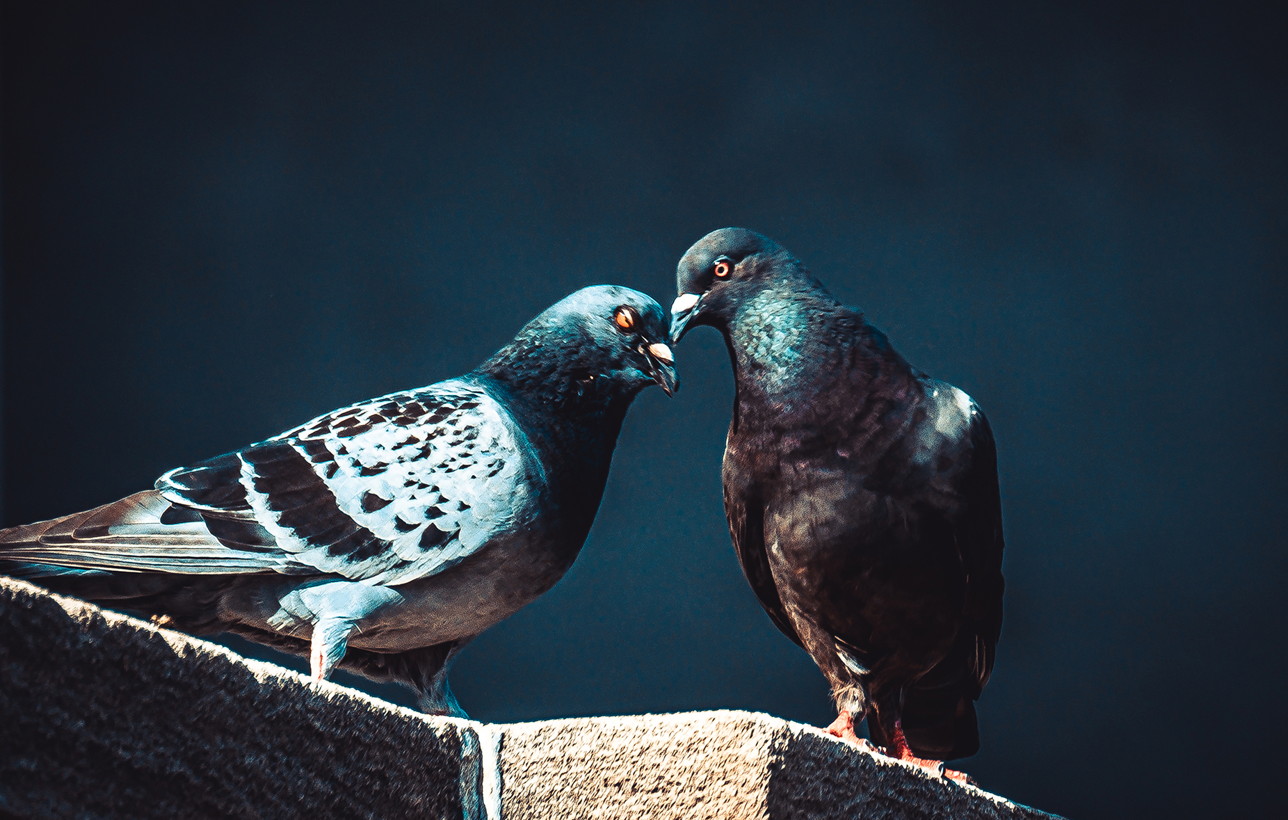 Pigeon Kiss, Just A Peck.  by Stephen Geisel, Love-fi