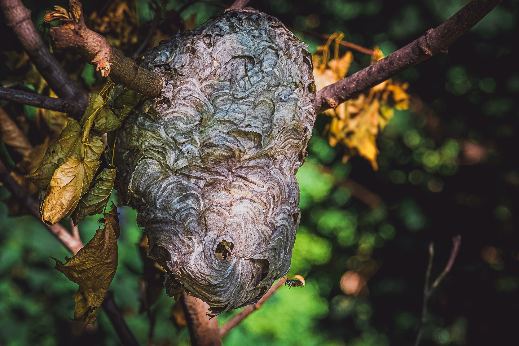 Bald-Faced Hornet's Hive. Nature Photograph