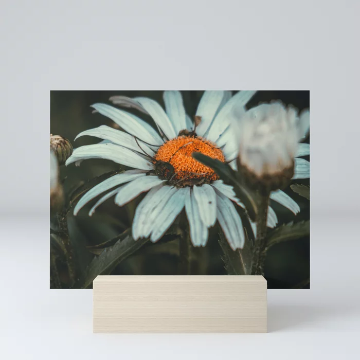 Shaded Daisy. Flower Photograph Mini Art Print by lovefi