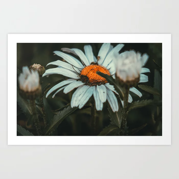 Shaded Daisy. Flower Photograph Art Print by lovefi