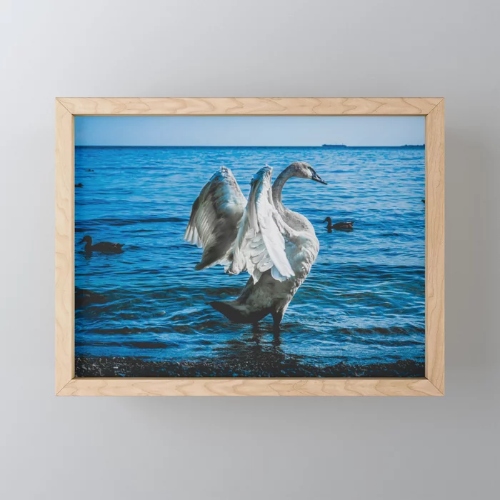 Spread Your Wings. Trumpeter Swan Photograph Framed Mini Art Print by lovefi