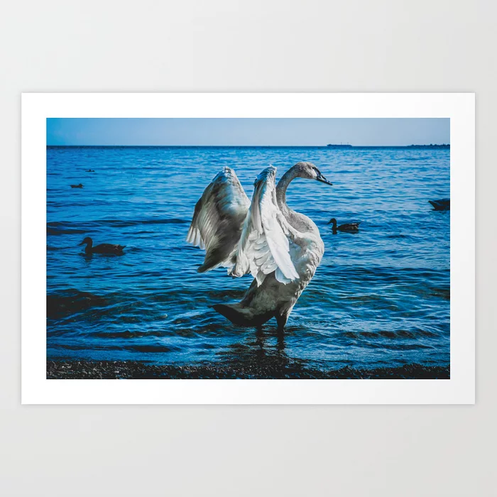 Spread Your Wings. Trumpeter Swan Photograph Art Print by lovefi