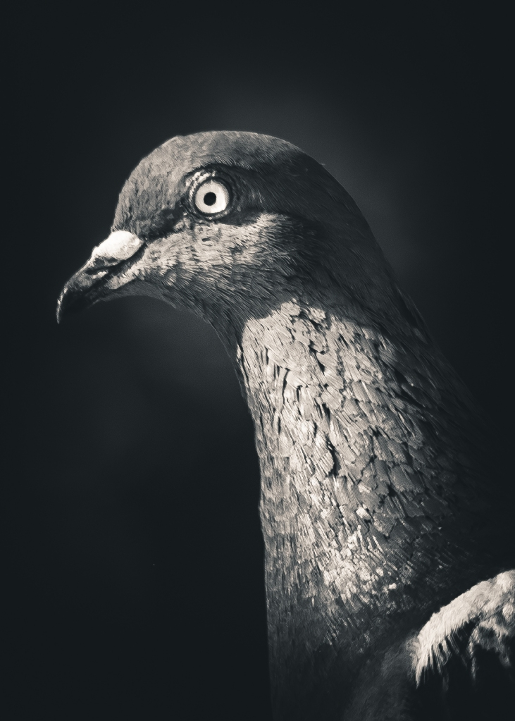 Pigeon Portrait Photograph. By Stephen Geisel, Love-fi