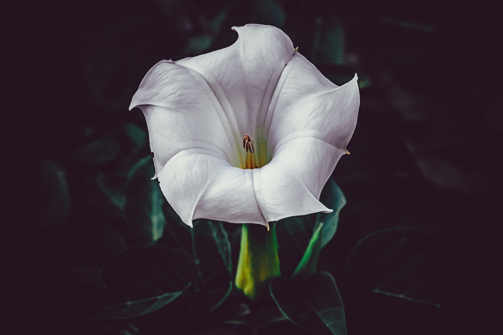 Devil's Trumpet. Datura Flower Photograph III. By Stephen Geisel, Love-fi