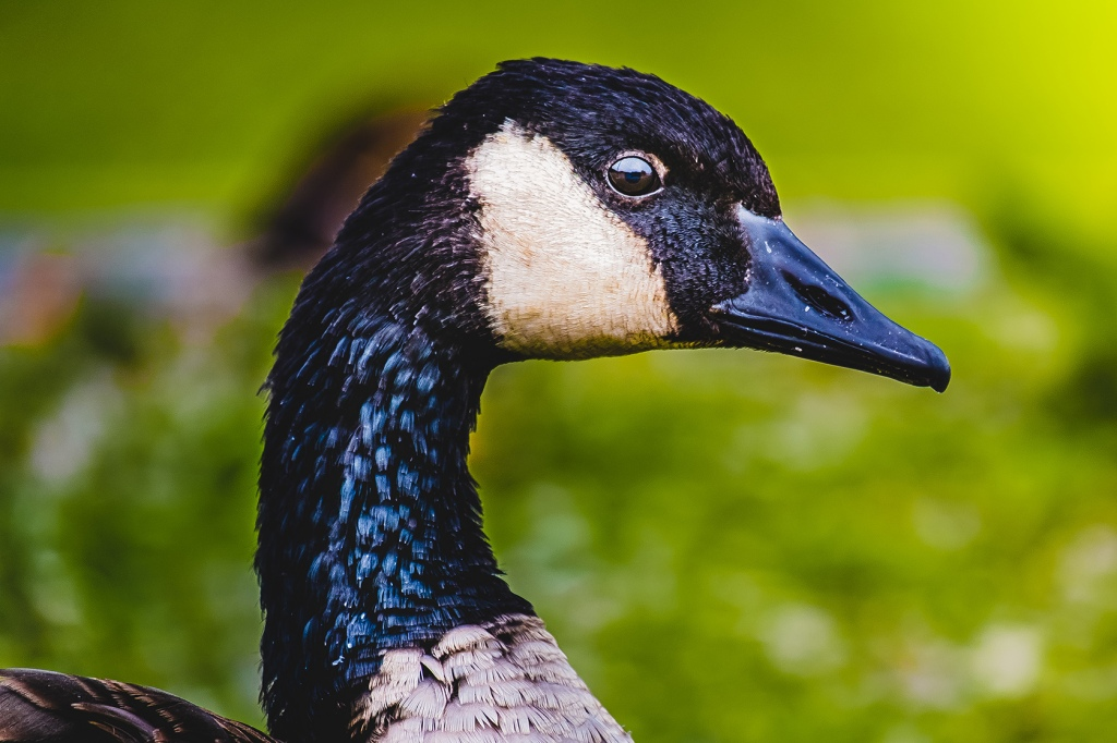 Canadian Goose Photograph. By Stephen Geisel, Love-fi