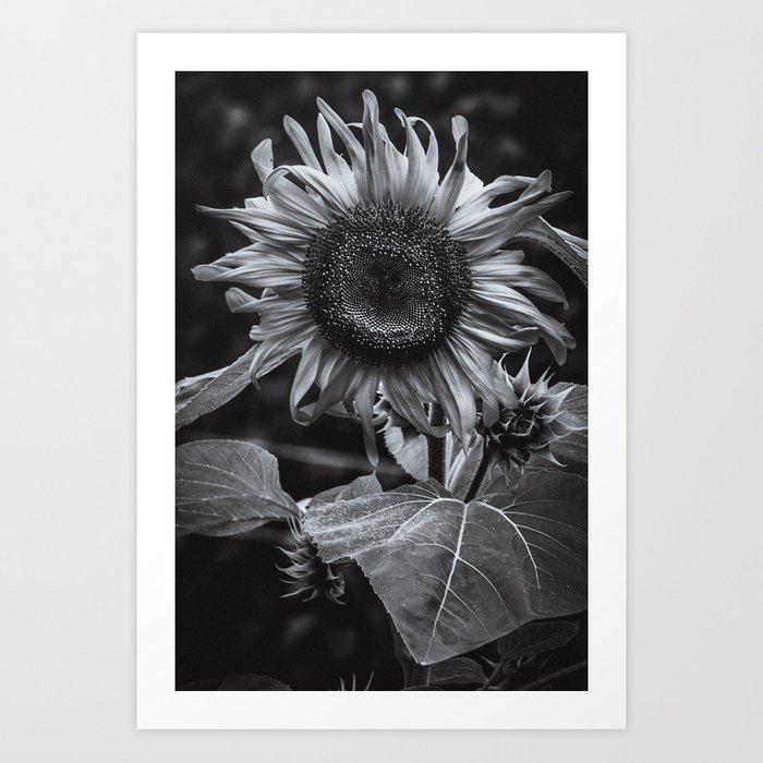 Sunflower Black & White Art Print by lovefi