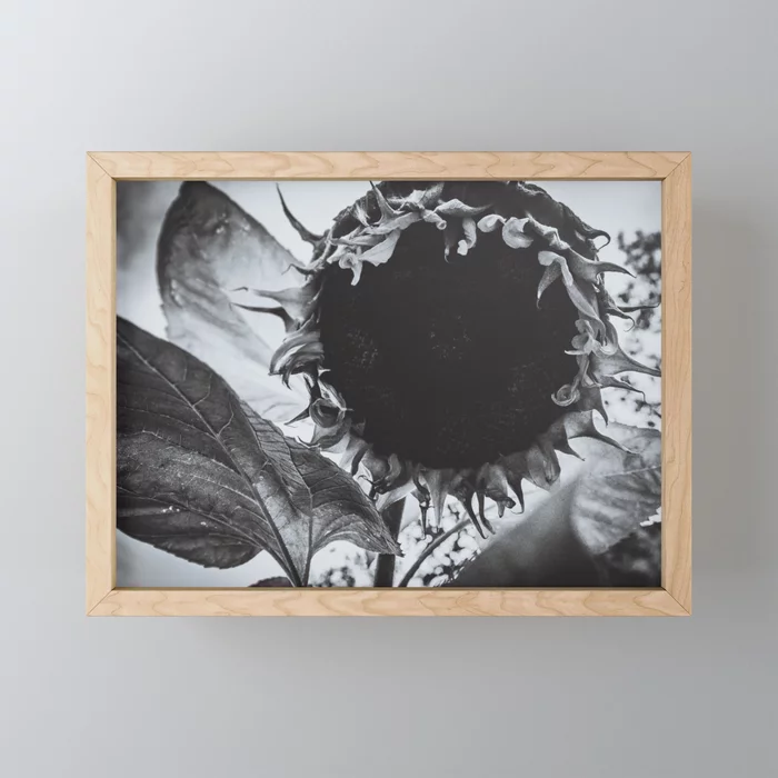 Staring Sunflower, Black and White Photograph Framed Mini Art Print by lovefi
