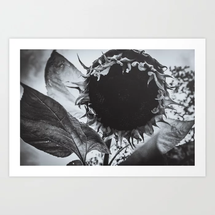 Staring Sunflower, Black and White Photograph Art Print by lovefi