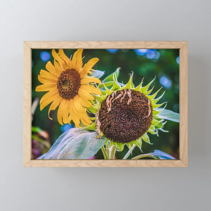 A Couple Of Sunflowers Photograph Framed Mini Art Print by lovefi