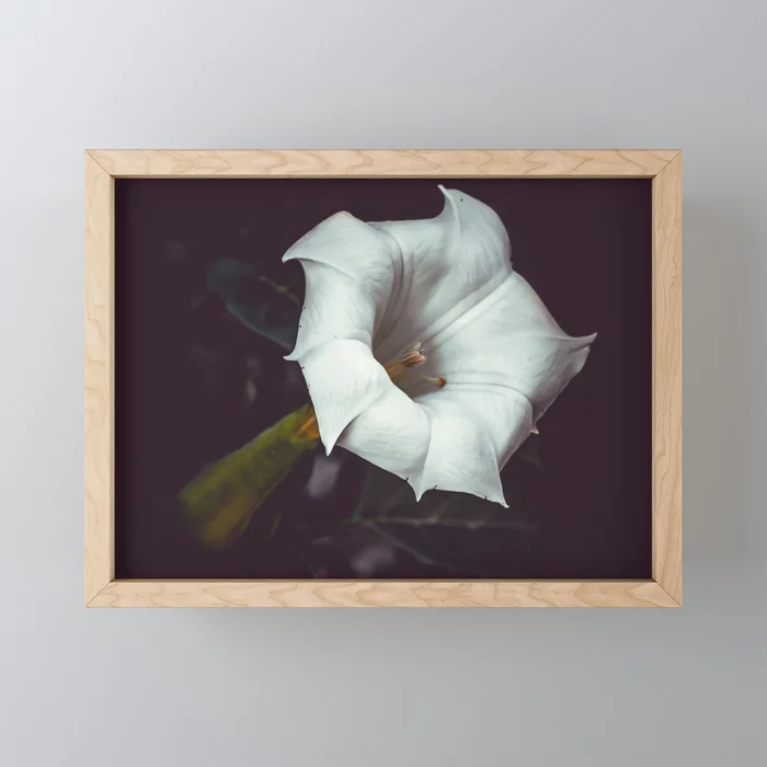 Devil's Trumpet, Datura Flower Photograph Framed Mini Art Print by lovefi