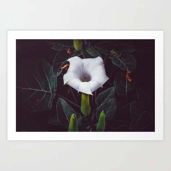 Devil's Trumpet, Datura Flower Photograph II Art Print by lovefi