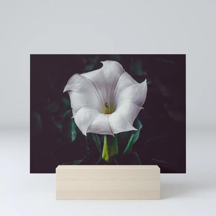 Devil's Trumpet, Datura Flower Photograph III Mini Art Print by lovefi