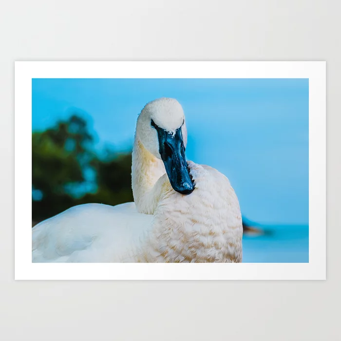 Swan Stance Photograph Art Print by lovefi
