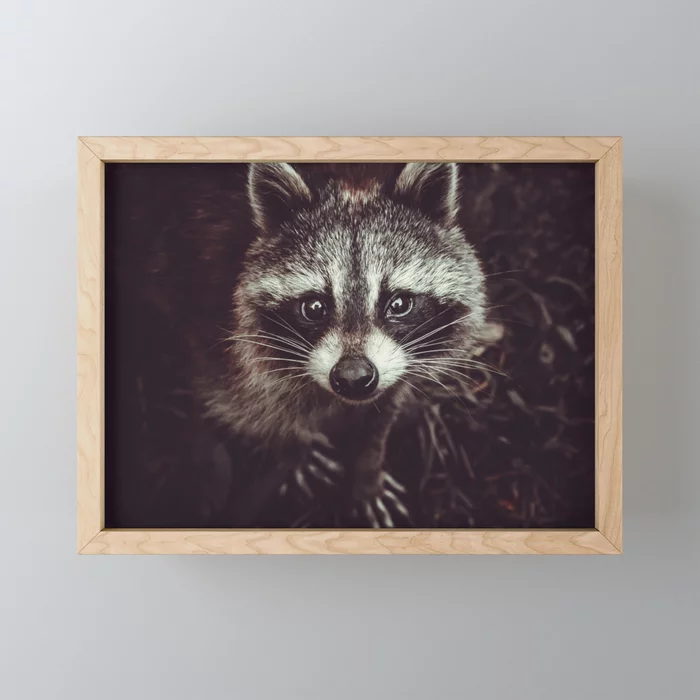 Reclusive Raccoon Photograph Framed Mini Art Print by lovefi