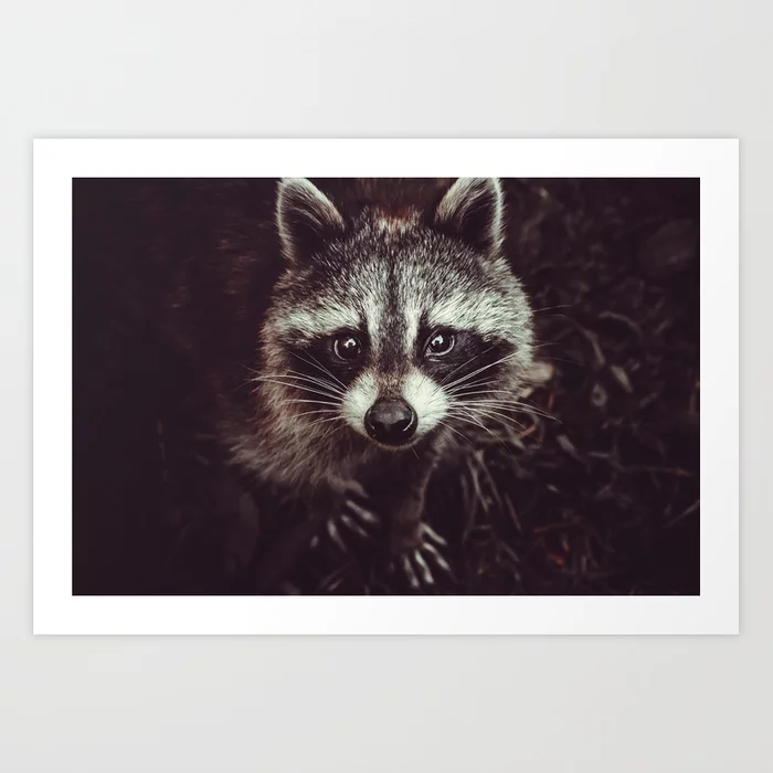 Reclusive Raccon Photograph Art Print by lovefi