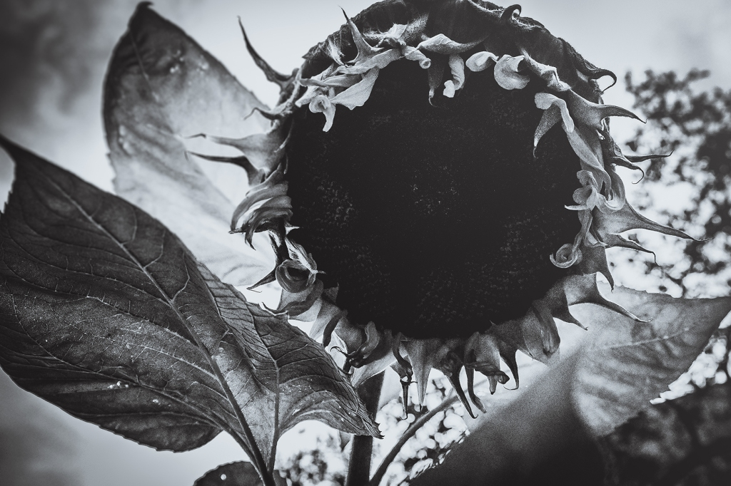 The Staring Sunflower. by Stephen Geisel, Love-fi