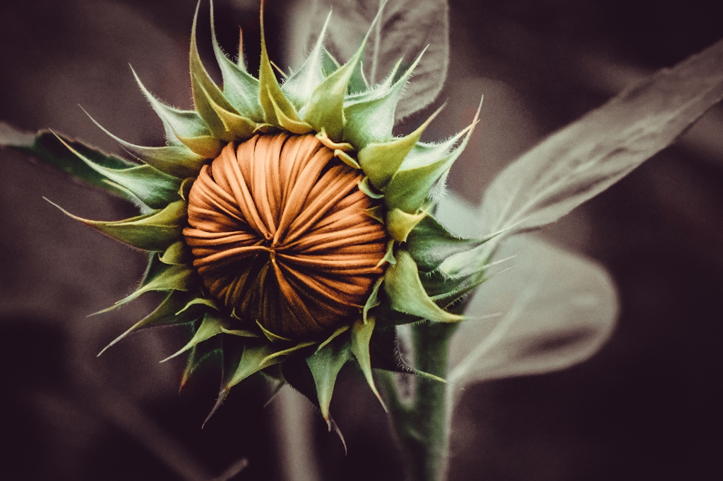 Sunflower Bud Photograph Art Print by lovefi