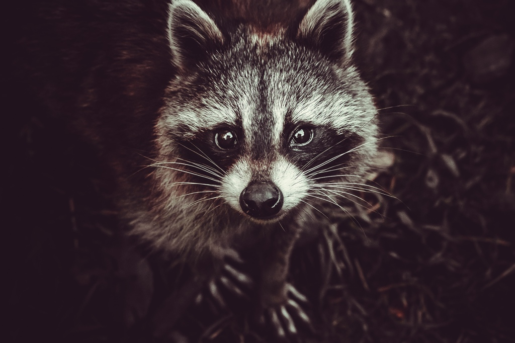 Reclusive Raccoon Photograph By Stephen Geisel, Love-fi