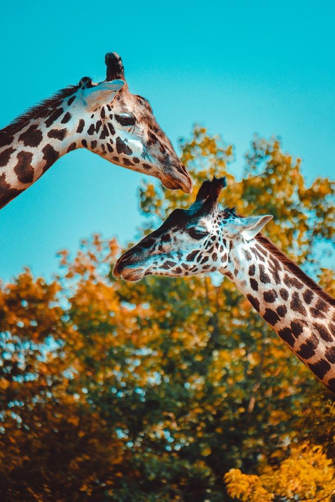 Gentle Giraffes Photograph. By Stephen Geisel, Love-fi