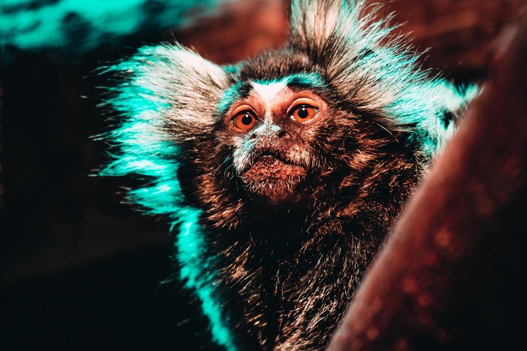 Mischievous Marmoset Photograph. By Stephen Geisel, Love-fi