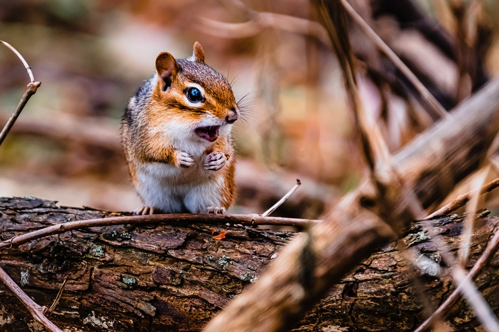 Chipmunk II. By Stephen Geisel, Love-fi