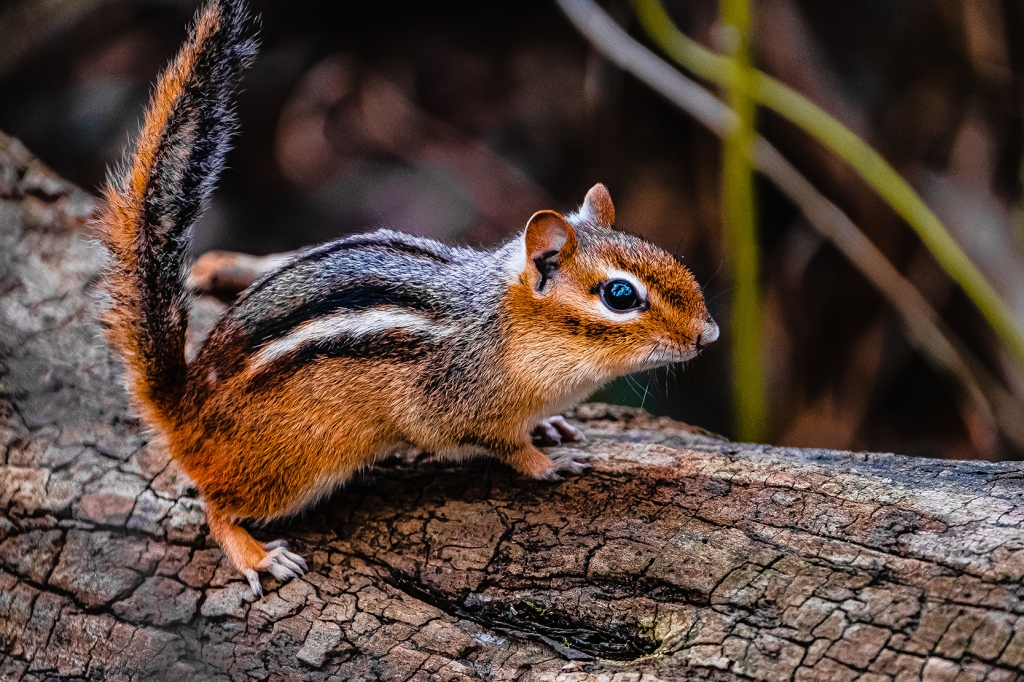 Chipmunk IV.   By Stephen Geisel, Love-fi