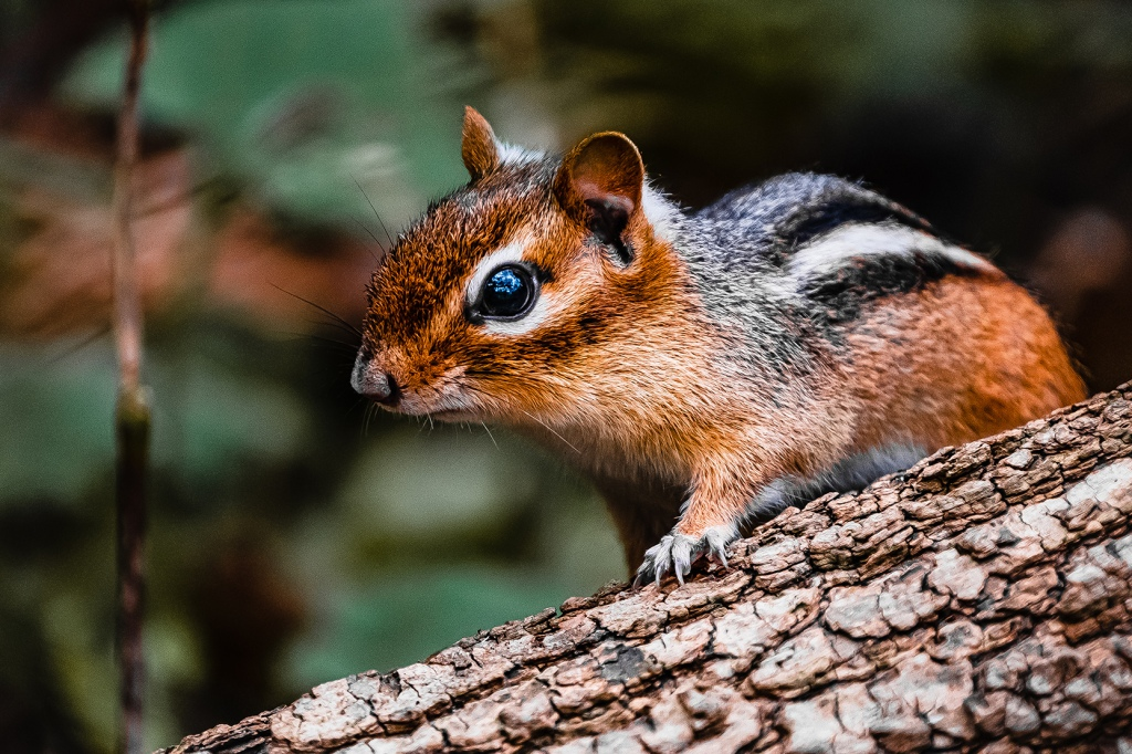 Chipmunk. By Stephen Geisel, Love-fi