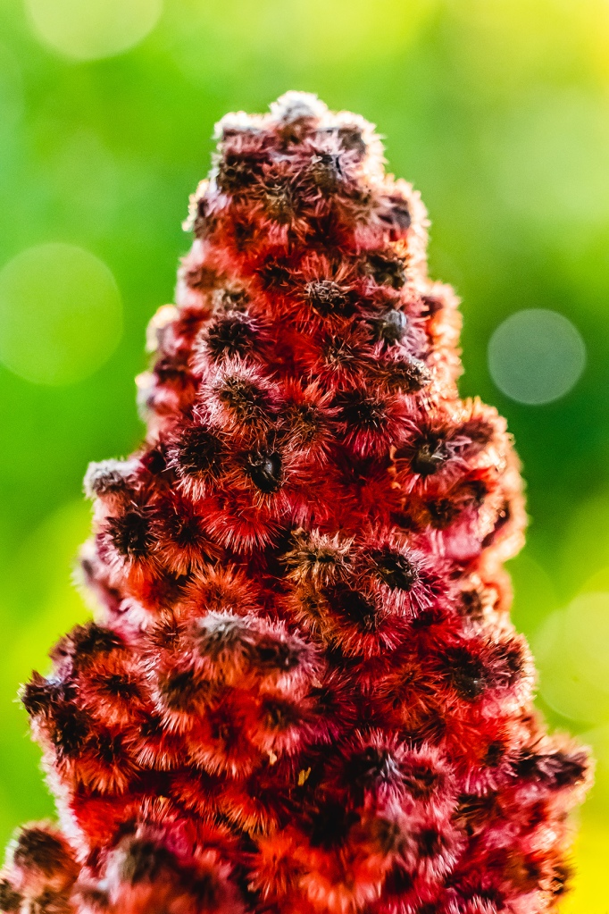 Staghorn Sumac. By Stephen Geisel, luv-fi.com