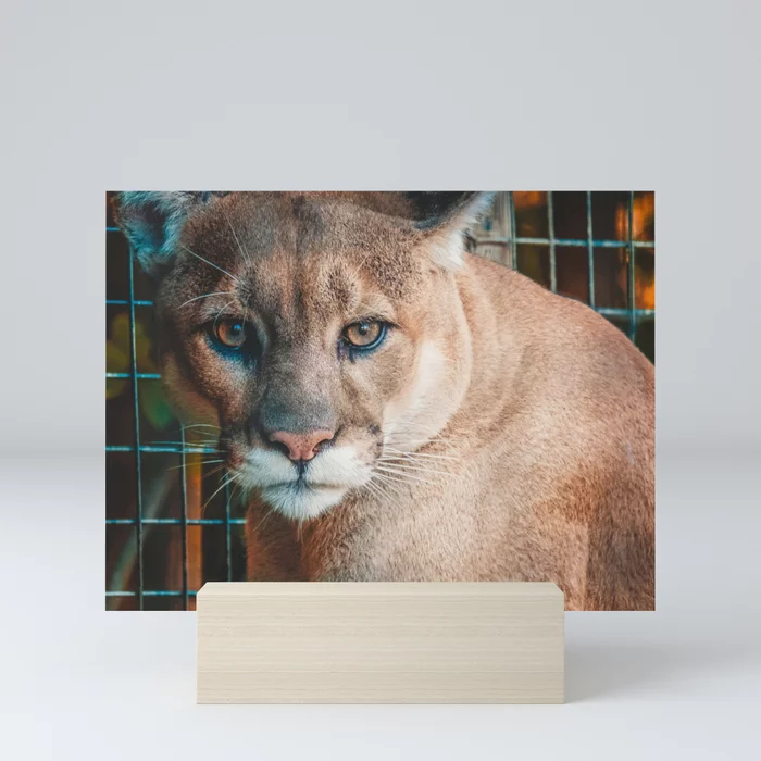 Kitty Cougar Photograph Framed Mini Art Print by lovefi