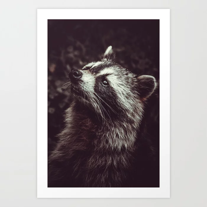 Reclusive Raccoon II. Photograph Art Print by lovefi