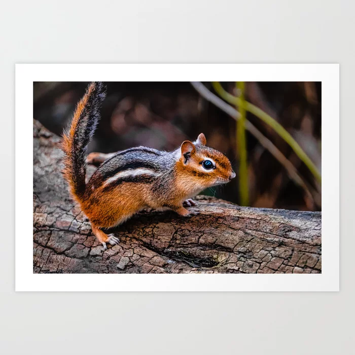 Chipmunk IV. Photograph Art Print by lovefi