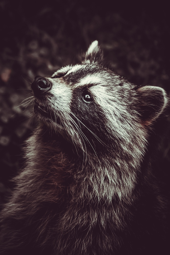 Reclusive Raccoon II. Photograph by lovefi