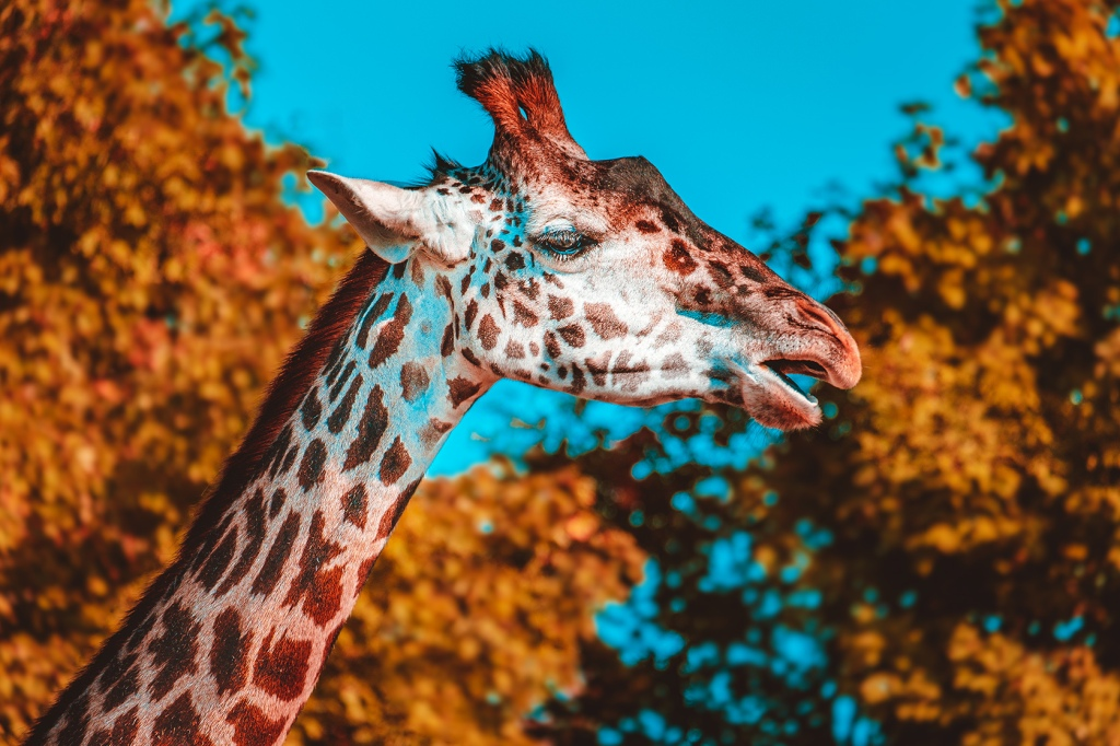 Gentle Giraffe II Photograph Art Print by lovefi