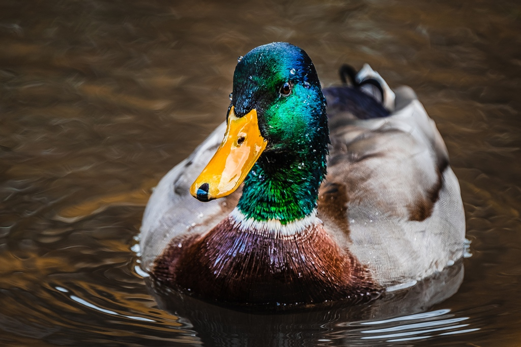 Mr.Mallard By Stephen Geisel, Love-fi