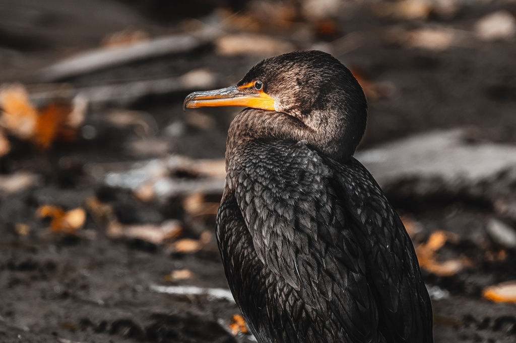 Double-Crested Cormorant   By Stephen Geisel, Love-fi