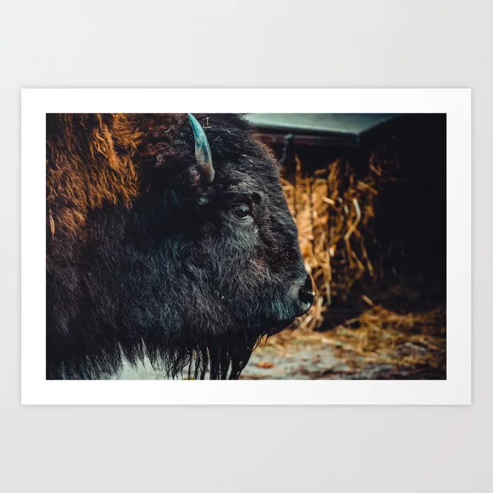 Bison. Photograph Art Print by lovefi