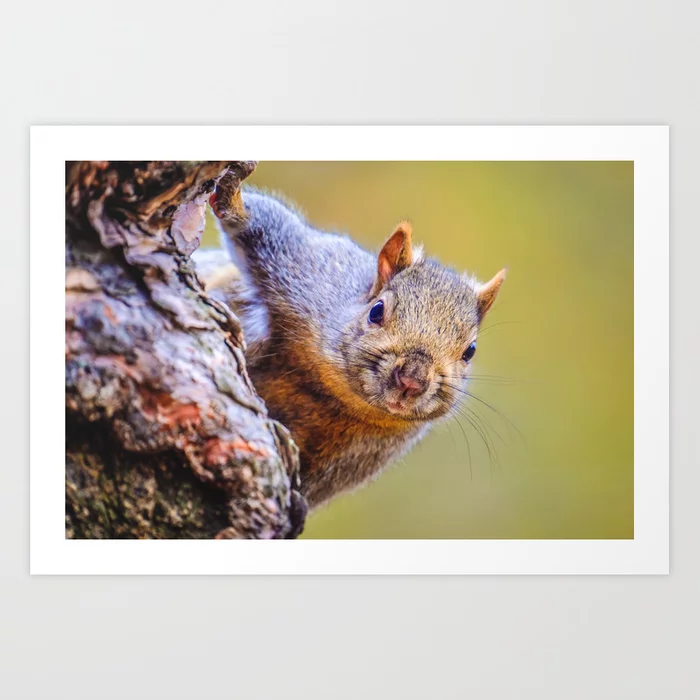 Squirrel, Just Peepin Photograph Art Print by lovefi