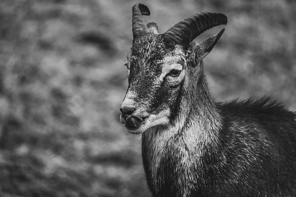 Mouflon. Photograph By Love-fi, Stephen Geisel