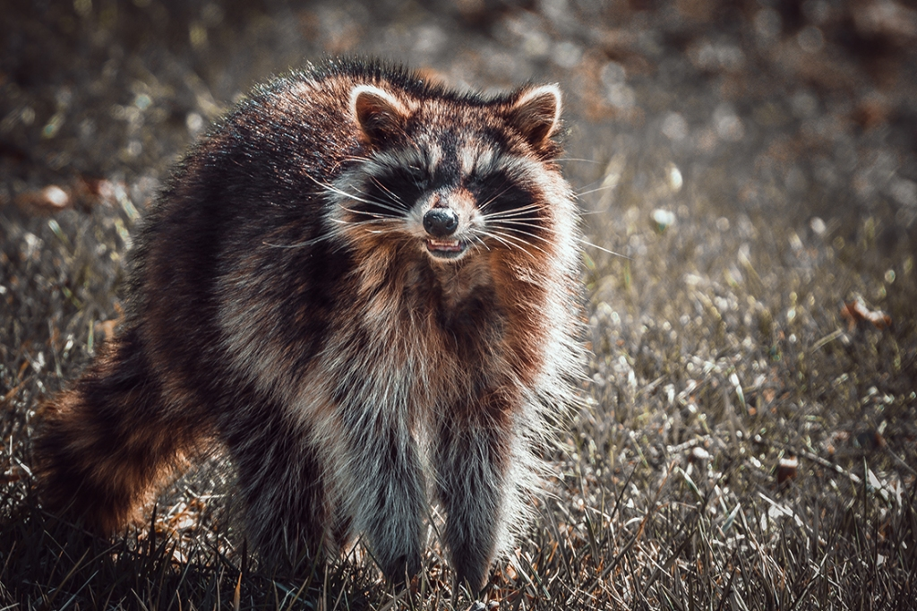 Daylight Raccoon II. By Stephen Geisel, Love-fi