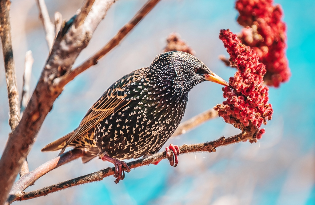 Hungry Starling By Stephen Geisel, Love-fi