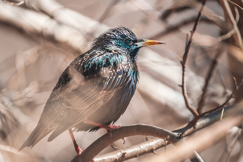 Starling in the Shade. By Stephen Geisel Love-fi