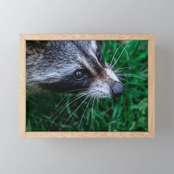 Curious Raccoon Photograph Art Print. By Stephen Geisel, Love-fi