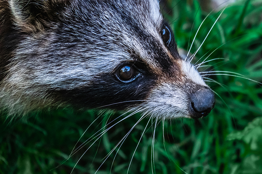 Curious Raccoon Photograph. By Stephen Geisel, Love-fi