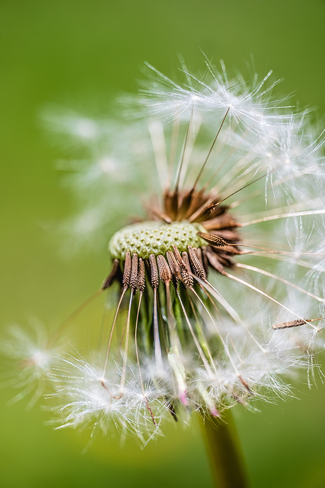 Dandelion Dispersal.  By Stephen Geisel, Love-fi