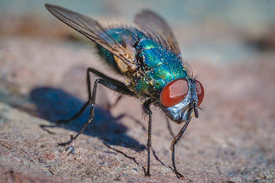 Macro Blow Fly II. By Stephen Geisel, Love-fi