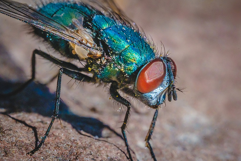 Blow Fly. Macro Photograph By Stephen Geisel, Love-fi